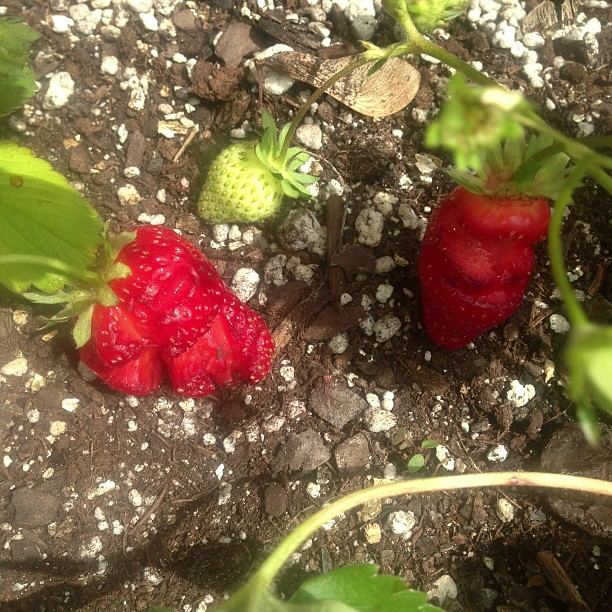 someoneatemystrawberries